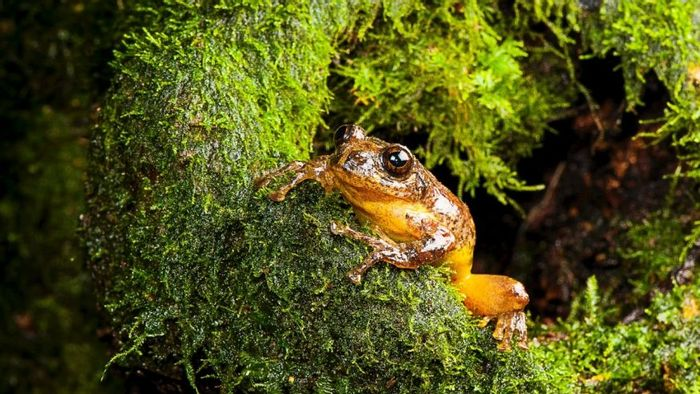 This tree frog was thought to have went extinct over a century ago.