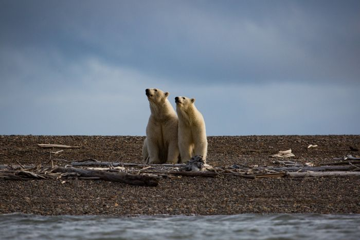 ANWR is home to the most polar bears in Alaska. Photo: The NY Times
