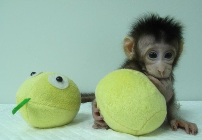This is a photograph of Hua Hua, one of the first monkey clones made by somatic cell nuclear transfer. / Credit: Qiang Sun and Mu-ming Poo / Chinese Academy of Sciences