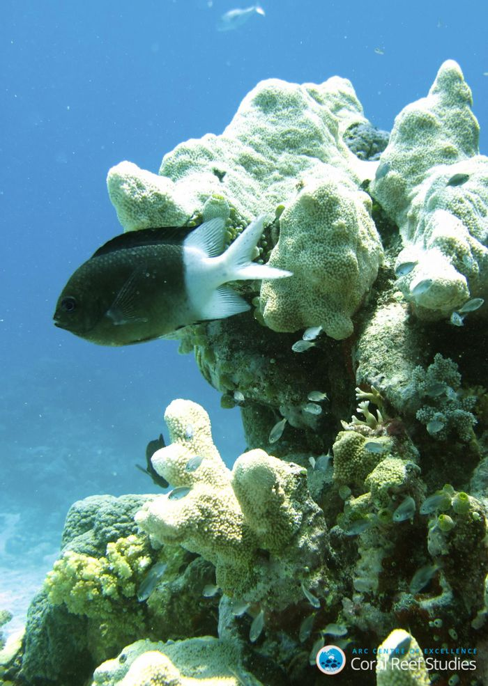 Some reef fish may exhibit natural self-defense mechanisms to protect against climate change.