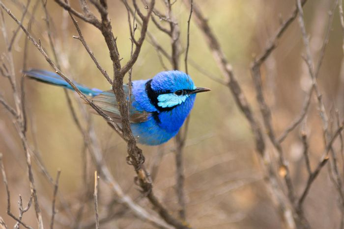 A splendid fairy-wren photographed during the research.