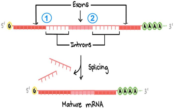 Cells make proteins based on blueprints encoded in our genes. These blueprints are copied into a raw RNA message, which must be edited, or spliced, to form a mature message that can direct the cellular machinery that synthesizes proteins./ Credit: All Khan Academy