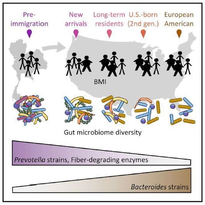 This graphical abstract shows that migration from a non-western nation to the United States is associated with a loss in gut microbiome diversity and function in a manner that may predispose individuals to metabolic disease. / Credit: Vangay et al. / Cell