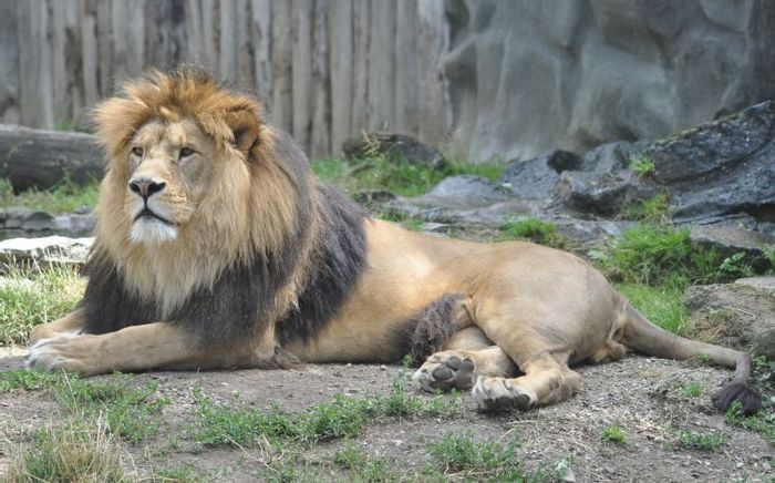 Two lion subspecies have been added to the Endangered Species Act.