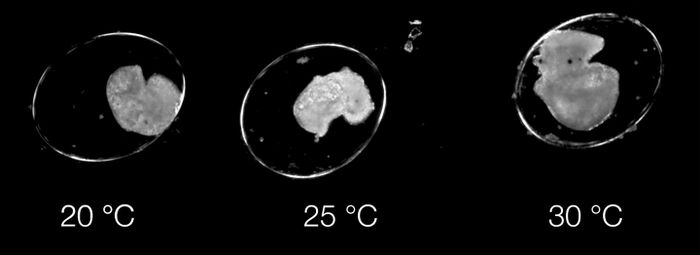 In a pond snail, temperature increases alter development and speed it up; 4-day-old embryos appear different, especially between 25 and 30°C. / Credit: Oliver Tills/University of Plymouth