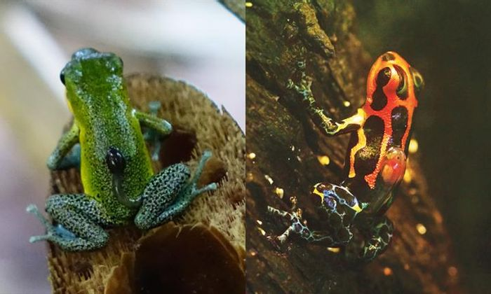 Non-monogamous female do most of the parenting, and in monogamous species, it's often shared. These frogs move tadpoles after hatching to water. In the non-monogamous strawberry poison frog (Oophaga pumilio, left) moms do it; in the monogamous mimic poison frog (Ranitomeya imitator, right) dad does the job. / Credit: Yusan Yan and James Tumulty