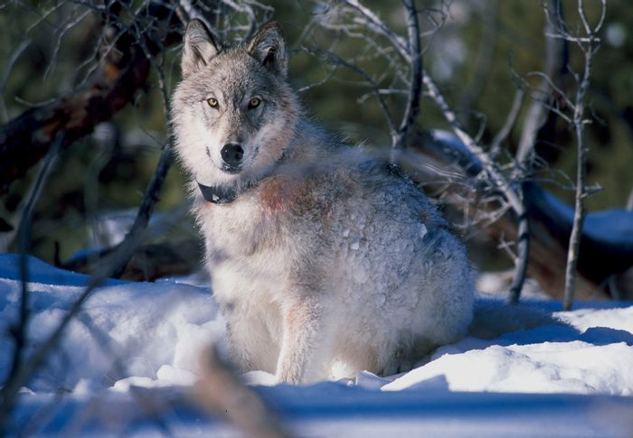 Animal tracking devices, like this wolf collar, help experts track their movement patterns.