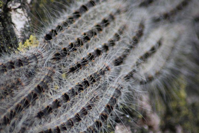 Beware of these nasty caterpillars.