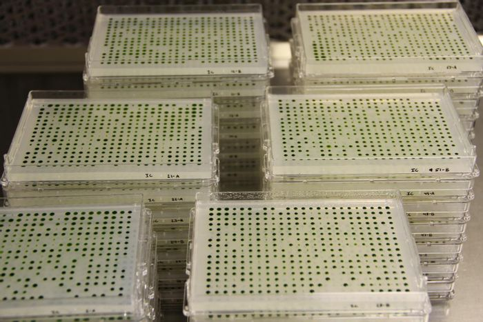 To build the library, researchers grew tens of thousands of strains of algae in plastic plates. The project, which took nine years, allows researchers to explore genes involved in photosynthesis and other aspects of plant biology.  / Credit: Photo courtesy of the researchers