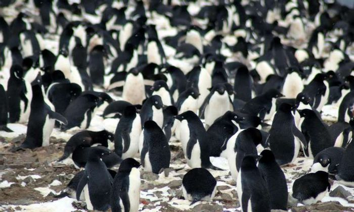 Penguins may be trackable via their tail feathers.