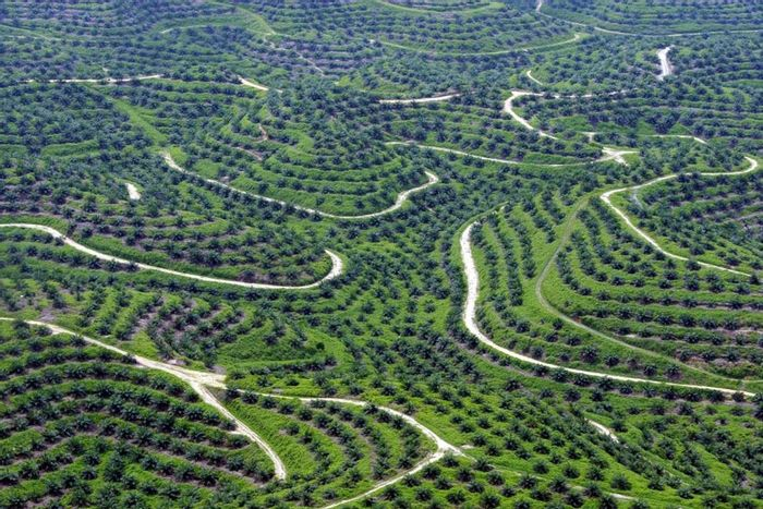 An aerial picture of palm oil plantations in Indragiri Hulu, Riau province, Indonesia. Source: The Gaurdian