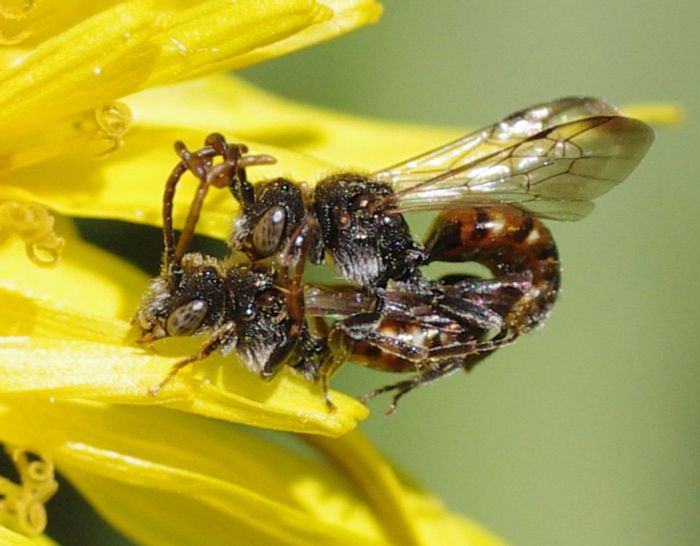 A male cuckoo bee wraps his antennae around the female's during copulation.