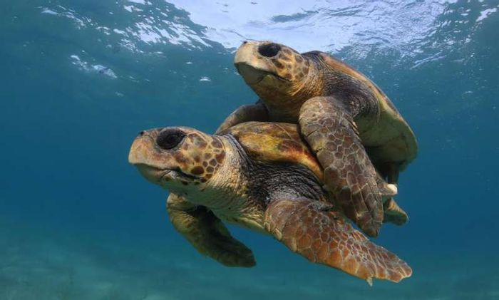 Sea turtles are threatened by the imminent dangers of climate change.