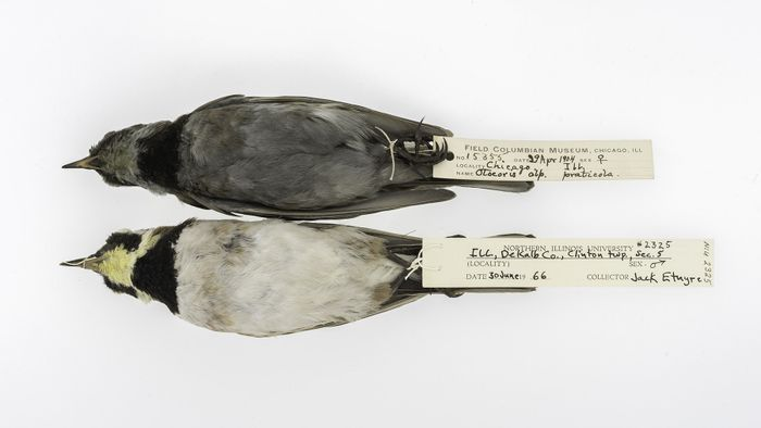 Comparing the birds, it is easy to see how the effects of pollution. Photo: Phys