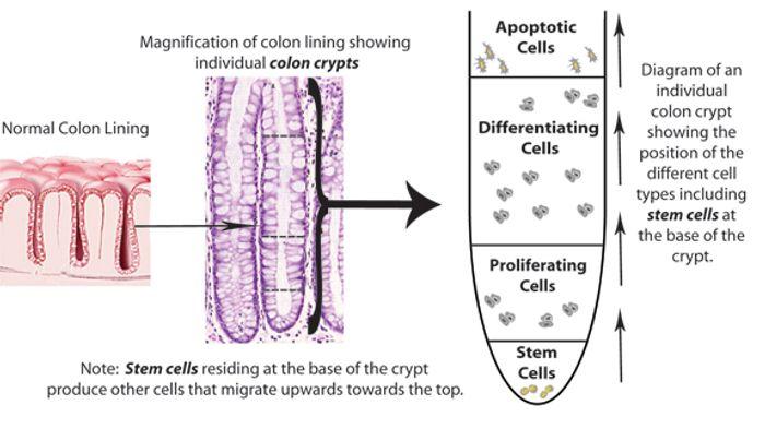 Anatomy of colon crypts.