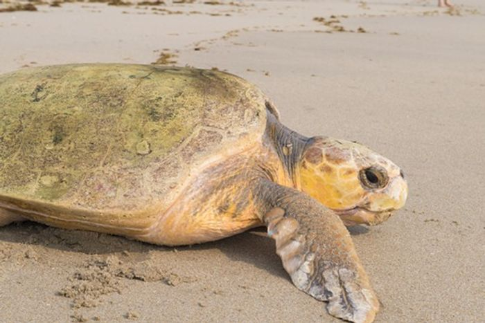This Loggerhead Turtle was officially returned to the wild on World Turtle Day.