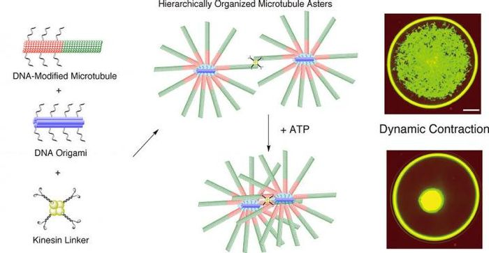 Mixing DNA-modified microtubules, DNA origami and kinesin linkers leads to star-like formations of microtubules that are connected by kinesin linkers. This network contracted dynamically when ATP energy was added./ Credit: Matsuda K. et al., Nano Letters