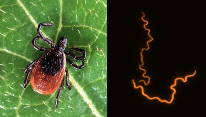 A deer tick (left), one of the species of tick that transmits the bacteria that causes Lyme disease. High resolution fluorescently tagged image of the bacteria B. burgdorferi that causes Lyme disease (right). / Credit: Virginia Tech / Brandon Jutras