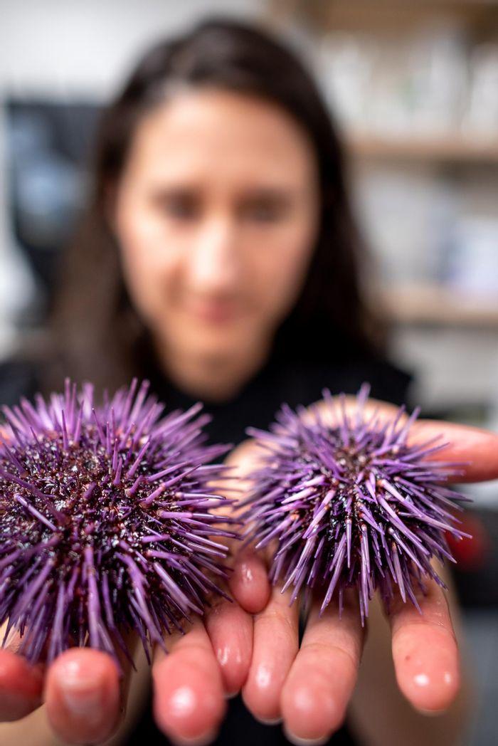 University of Vermont biologist Melissa Pespeni examines two purple sea urchins./ Credit: Joshua Brown/UVM