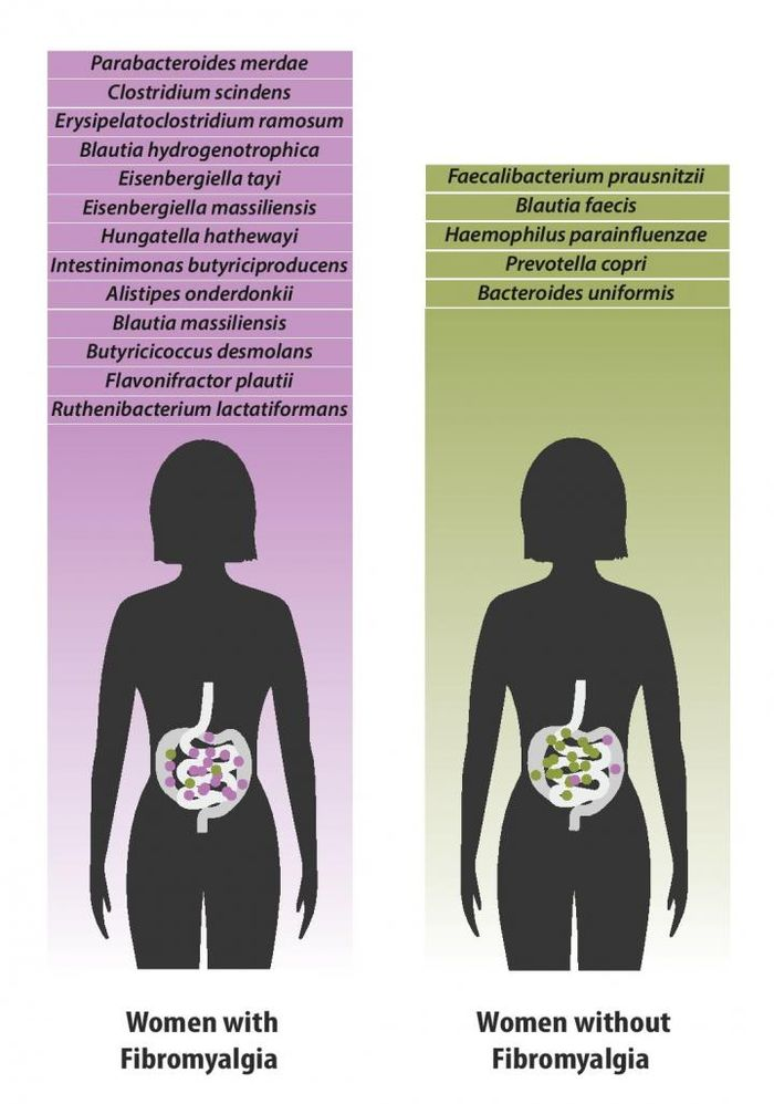 Bacterial species which were found in greater quantities in individuals with fibromyalgia (left) versus species which were found in greater quantities in healthy individuals (right). / Credit: Dr. Amir Minerbi