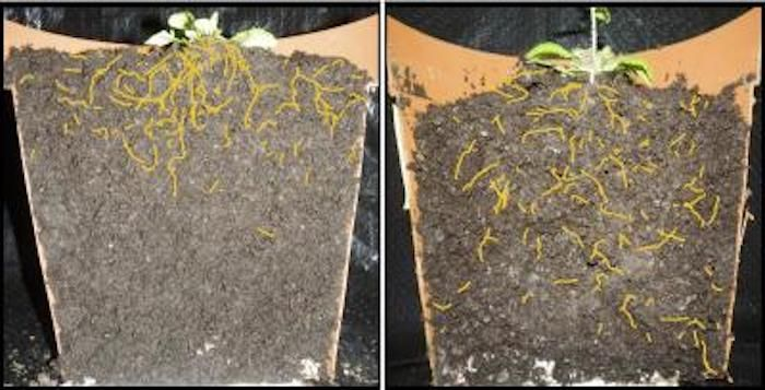 Left: Shallow roots of a normal thale cress. Right: Thale cress variant with deeper root system architecture. (Roots colored yellow for better visibility.) / Credit: Salk Institute