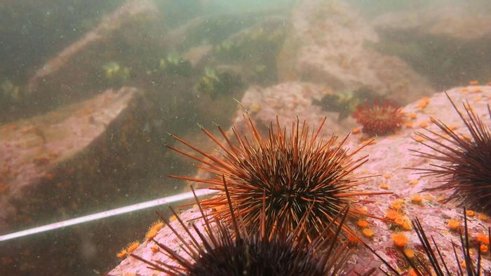 Coralline algae in a sea urchin barren. / Credit: Jenn Burt