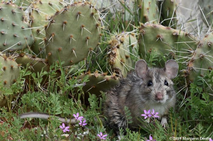 A white-throated woodrat with prickly pear cactus. / Credit:  Margaret Doolin
