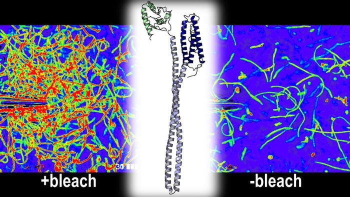 The bacterial stomach pathogen Helicobacter pylori swims toward a needle filled with bleach. The bacterium uses a protein called TlpD (center) to sense the bleach as an attractant. / Credit: Arden Perkins