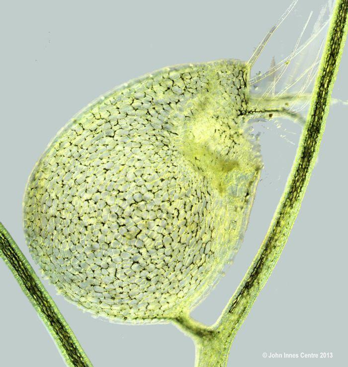 Utricularia gibba (bladderwort) - evolved from flat leaves / Credit: John Innes Centre