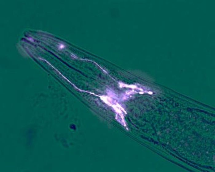 The head of a roundworm, C. elegans. The glia that regulate the stress response in the worm's peripheral cells are highlighted. A mere four of these cells protect the organism from age-related decline. / Credit: Ashley Frakes, UC Berkeley
