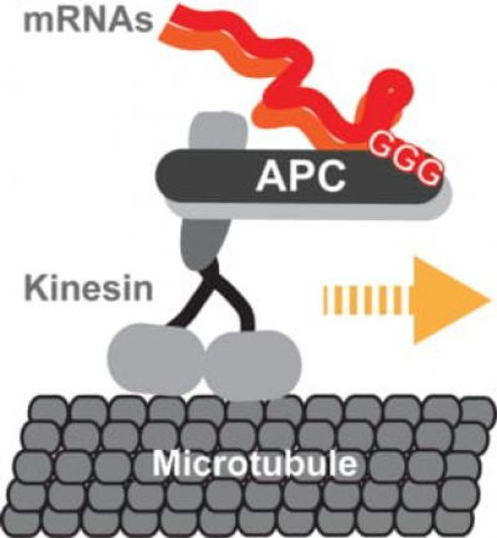 A graphic representation of kinesin-2 transporting mRNA-protein complexes along the self-assembling highways of a neuron. mNRA localisation signals read by the transport complex are indicate with capital Gs. / Credit  S Maurer