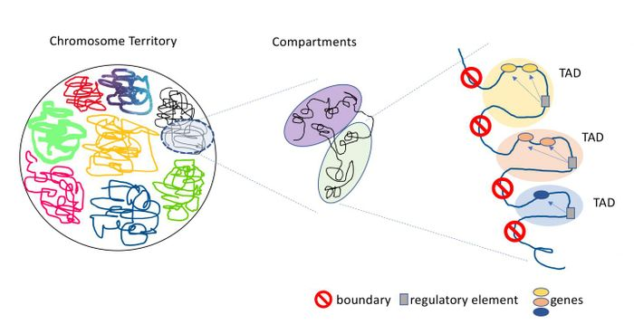 Topologically associated domains (TADs) are distinct regions of the genome with strict boundaries that keep the domains from interacting with genetic material in neighboring TADs. / Credit: Jin Szatkiewicz, PhD, UNC School of Medicine