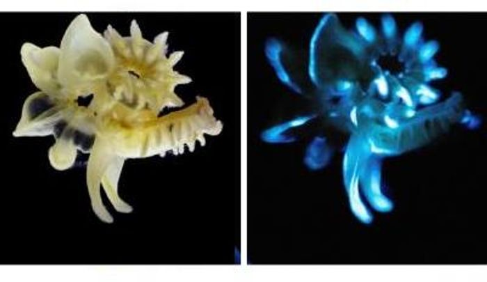 The marine parchment tube worm under natural light (left), and in the dark (right) with blue bioluminescent slime it produces. / Credit: David Liittschwager