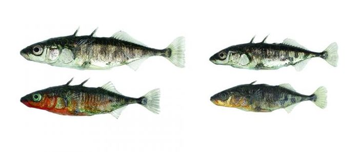 Two ecotypes of threespine stickleback fish can be found in and around Lake Constance. Each has developed under the influence of its specific habitat: lake stickleback on the left and river stickleback on the right. The two ecotypes differ in numerous morphological and behavioral traits; most striking are the differences in body size and in the breeding coloration of the males. / Credit: University of Basel, Daniel Berner
