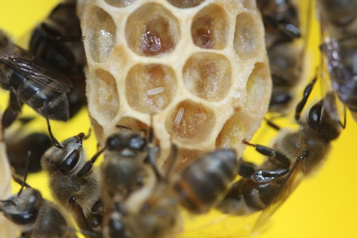Cape honey bee workers laying parasitic eggs on a queen cell. / Credit: Professor Benjamin Oldroyd/University of Sydney