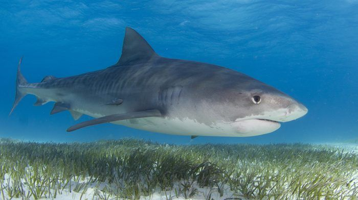 Tiger sharks are among the many kinds of sharks that help prevent carbon-cleaning seagrasses from being eaten.