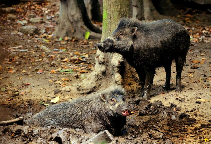A pair of Visayan warty pigs.
