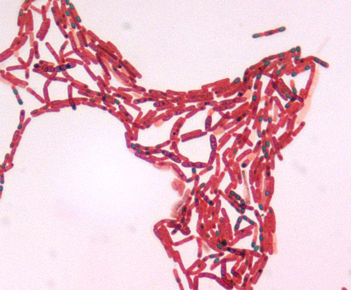Bacillus bacteria of the Firmicutes phylum/ Credit: Larry Stauffer, Oregon State Public Health Laboratory