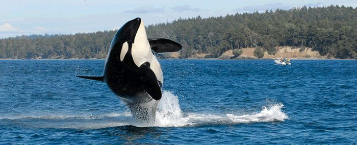 Granny was the oldest-living orca in the wild, and experts now think she has passed away.