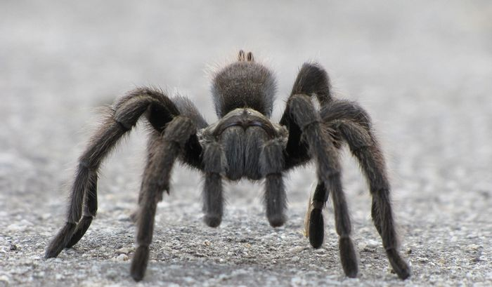 Are tarantula's right-handed like a vast majority of humans are?