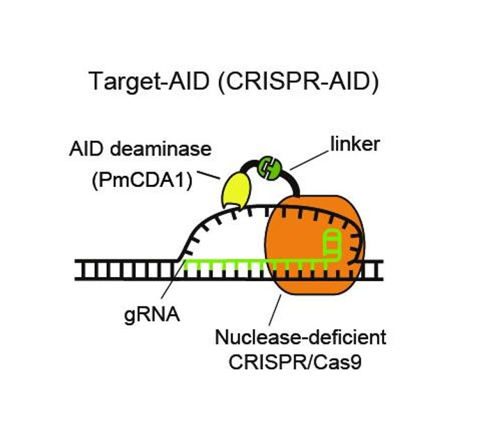 Deaminase is attached by a linker to nuclease-deficient CRISPR/Cas9. Guide RNA recognizes the DNA sequence of target genome and the deaminase modifies the base of the unwound DNA. / Credit: Kobe University