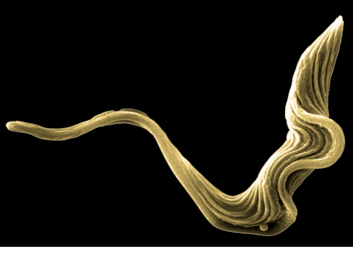 Trypanosoma brucei is a complex of protozoan parasites that cause a disease known as African sleeping sickness.