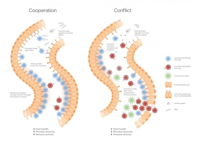 Reduction of conflict can lower costs associated with conflict to both host and microbiota. Host immune tolerance may have evolved as a way of managing conflict, reducing destructive host inflammation and microbiota virulence in the microbiome. Graphic by Jason Drees for the Biodesign Institute.