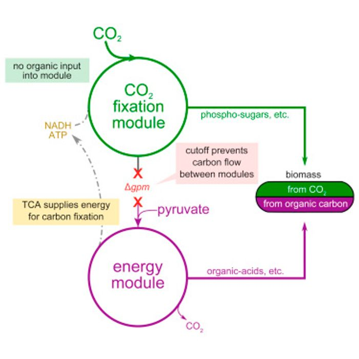 The researchers asked how difficult is it to evolve from one trophic mode of growth to another? Specifically, can the ability to synthesize biomass from CO2 be introduced into a heterotrophic organism?