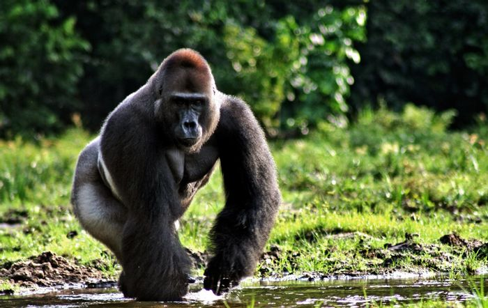 More than half the population of Eastern lowland gorillas has been lost since the 1990s, leaving just a few thousand left in the wild. Photo: www.keyword-suggestions.com