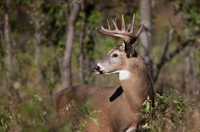 White-tailed deer are eating too many native plants and allowing invasive plant species to thrive.