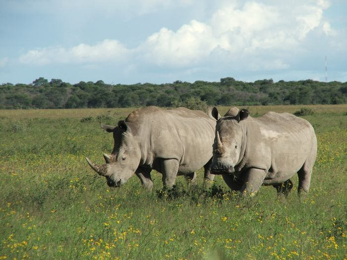 Poaching of the African rhino continues to increase after the sixth year of statistics.