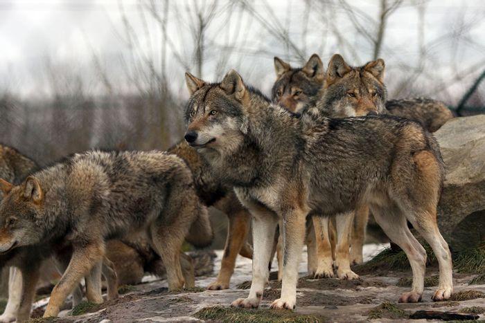 Gray wolves. Photo: www.ncwlife.com