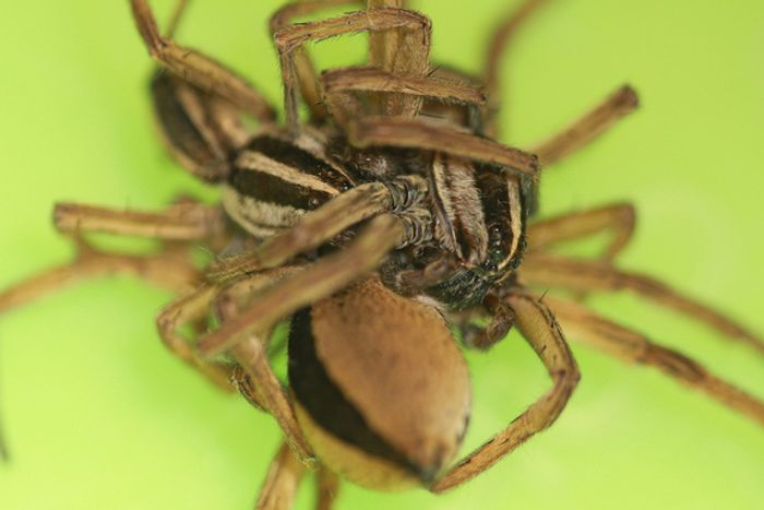 A threesome involving wolf spiders, as captured during the study.