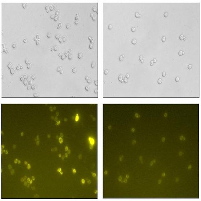 In regular yeast (the left-hand images), the secretion of proteins is hampered by harmful reactive oxygen species (ROS) generated by the yeast. The lower image shows these as fluorescent areas, which indicate cell damage. In the modified yeast (right) protein production is improved. / Credit: Mingtao Huang/Chalmers